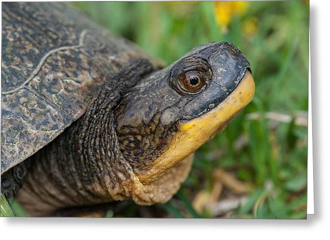 Blanding's Turtle Greeting Card