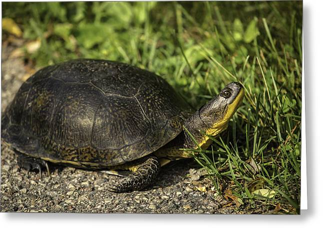 Blanding's Turtle Greeting Card by Thomas Young