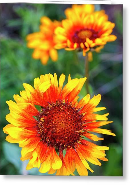 Blanket Flower Aka Brown Eyed Susan Greeting Card