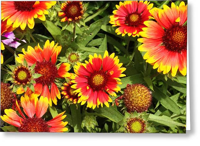 Blanket Flower Greeting Card
