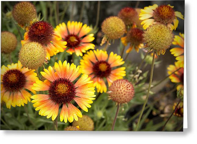 Greeting Card featuring the photograph Blanket Flowers  by Belinda Greb