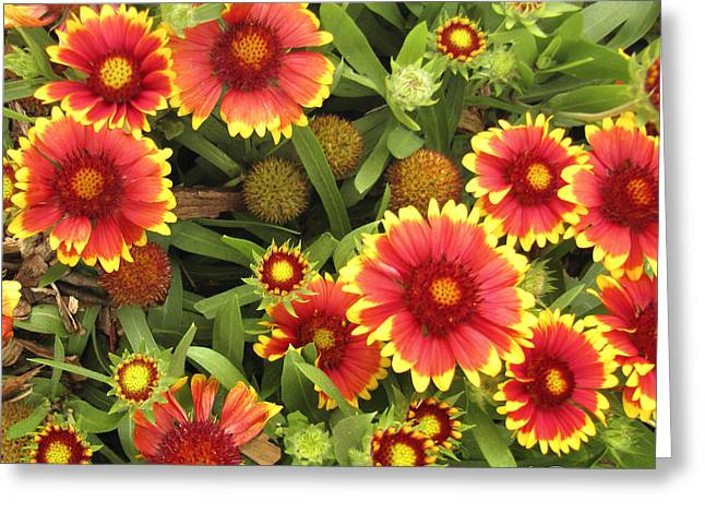 Blanket Flowers  One - Photography Greeting Card by Ann Powell