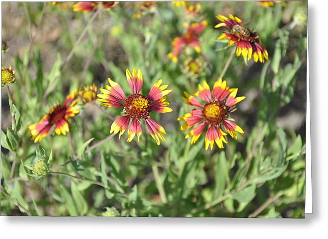 Blanketflower Greeting Card