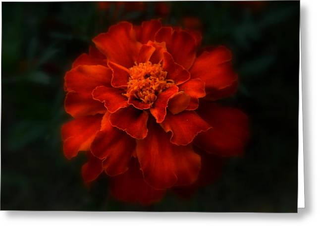 Blazing Marigold Greeting Card