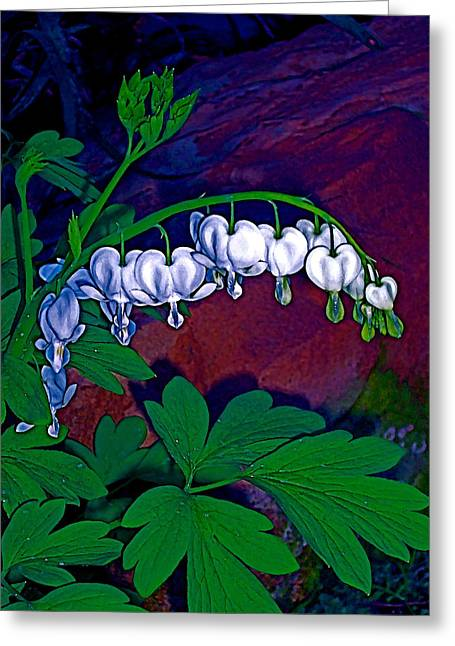 Bleeding Heart 1 Greeting Card by Pamela Cooper