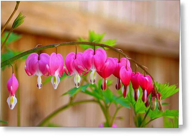 Graceful Arch Of Bleeding Heart Greeting Card by Patti Whitten