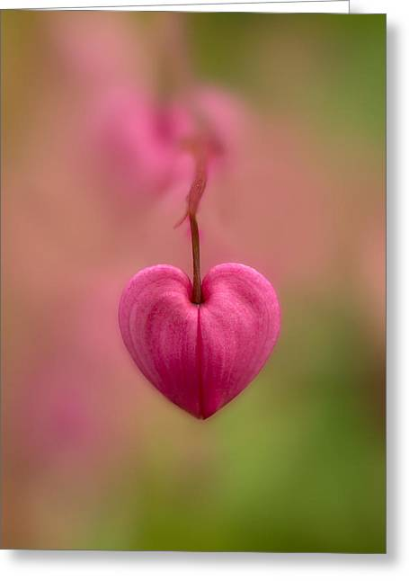 Bleeding Heart Flower Greeting Card by Jaroslaw Blaminsky