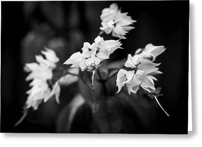 Bleeding Heart Flowers Clerodendrum Painted Bw   Greeting Card