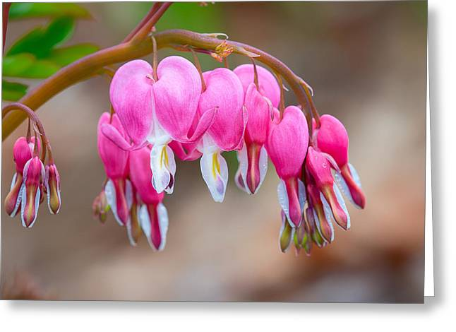 Greeting Card featuring the photograph Bleeding Heart by Tyson and Kathy Smith