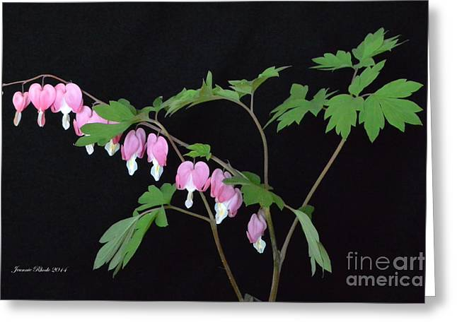 Greeting Card featuring the photograph Bleeding Hearts 2 by Jeannie Rhode