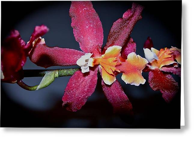 Blend Of Beauty Greeting Card by Randy Rosenberger
