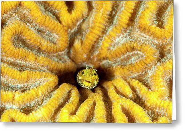Blenny Living In Brain Coral, Bonaire, N Greeting Card by James White