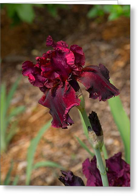 Blood Iris Aglow Greeting Card by Douglas Barnett