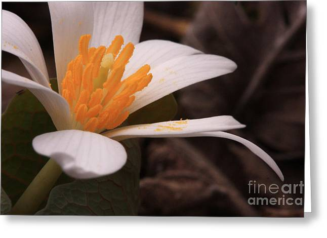 Blood Root Greeting Card by Janet Felts