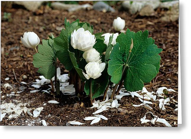 Blood Root Sanguinaria Canadensis Greeting Card by Andrew J. Martinez