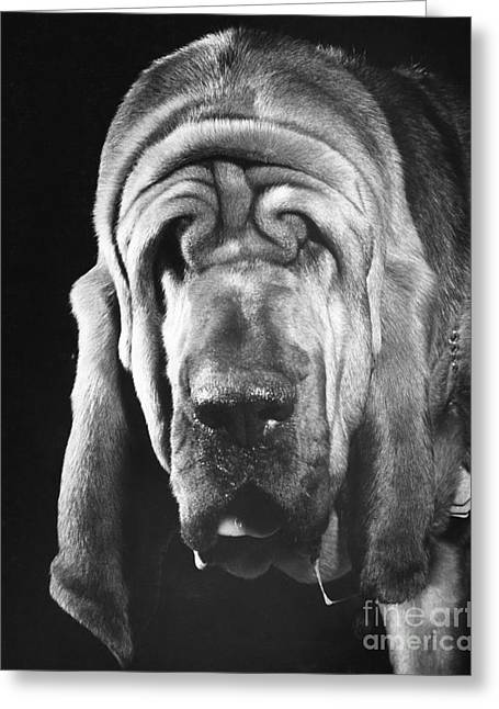 Bloodhound Portrait Greeting Card by ME Browning