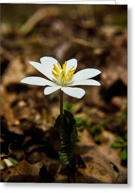 Bloodroot Flower 1 Greeting Card by Douglas Barnett