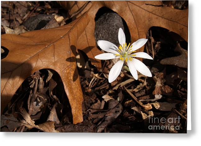 Bloodroot On Forest Floor - Pennsylvania Greeting Card by Anna Lisa Yoder