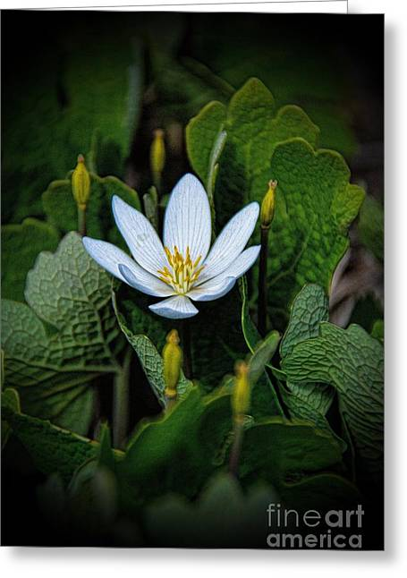 Bloodroot Pretty Poison Greeting Card