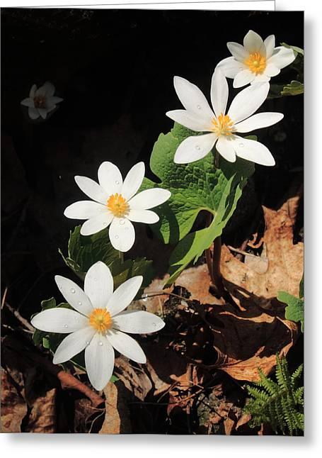 Bloodroot Wildflowers In Shadow Greeting Card by John Burk