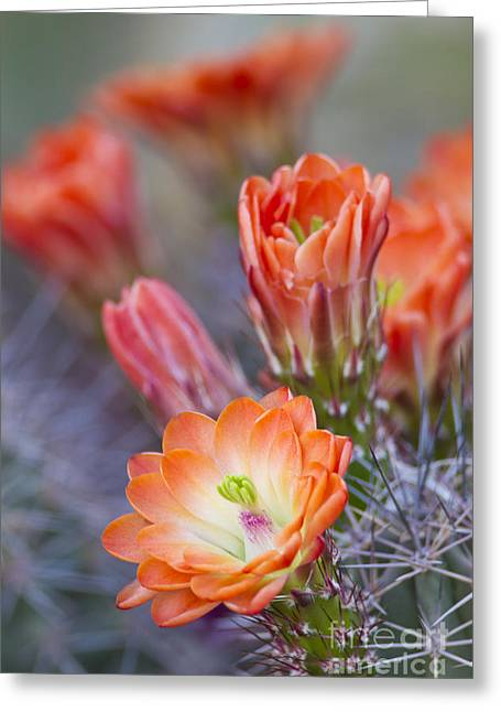 Greeting Card featuring the photograph Bloom In Orange by Bryan Keil