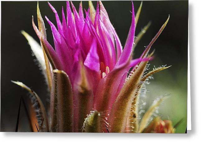 Blooming Barrel Cactus Greeting Card by Karen Slagle