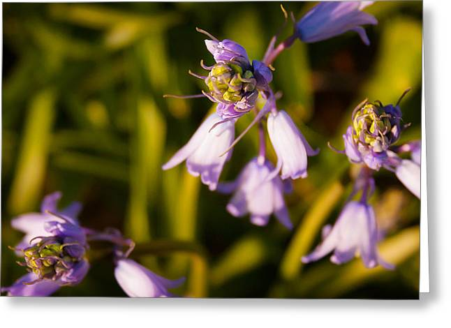Greeting Card featuring the photograph Blooming Bluebells by Joe Winkler