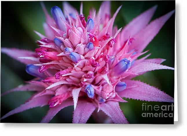 Blooming Bromeliad Greeting Card