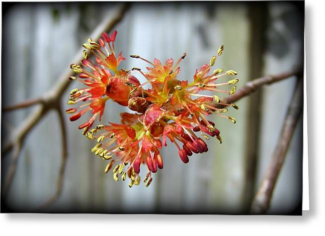 Greeting Card featuring the photograph Blooming Buds by Kelly Nowak