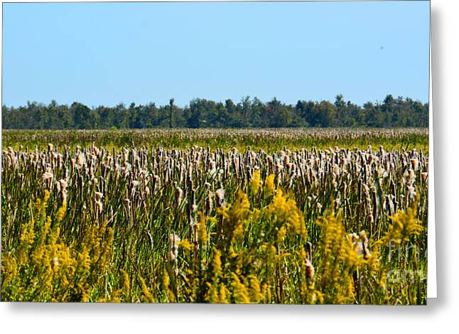 Blooming Cattails As Far As The Eye Can See Greeting Card