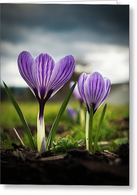 Blooming Crocuses Are A Sign Greeting Card