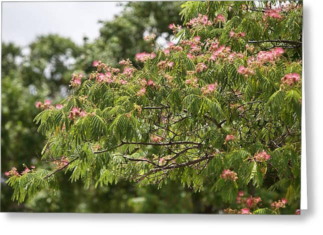 Blooming Mimosatree Greeting Card by Linda Phelps