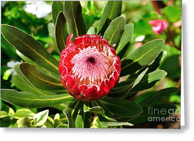 Blooming Protea Greeting Card by Kaye Menner