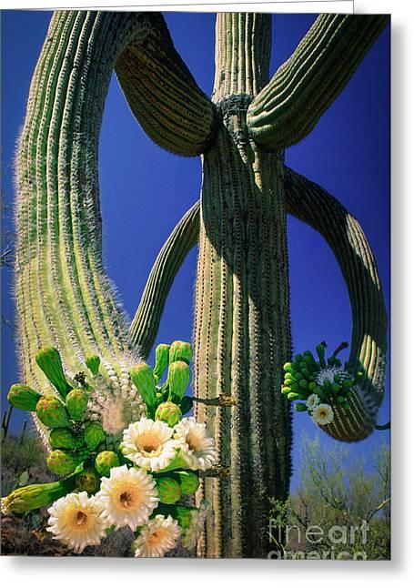 Blooming Saguaro Greeting Card by Inge Johnsson