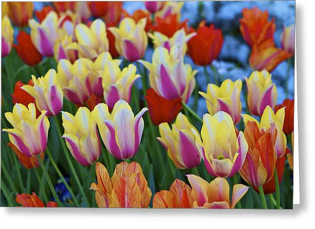 Greeting Card featuring the photograph Blooming Tulips by John Babis