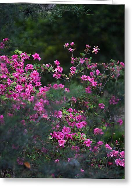 Blooms Of Pink Greeting Card by Lezlie Faunce