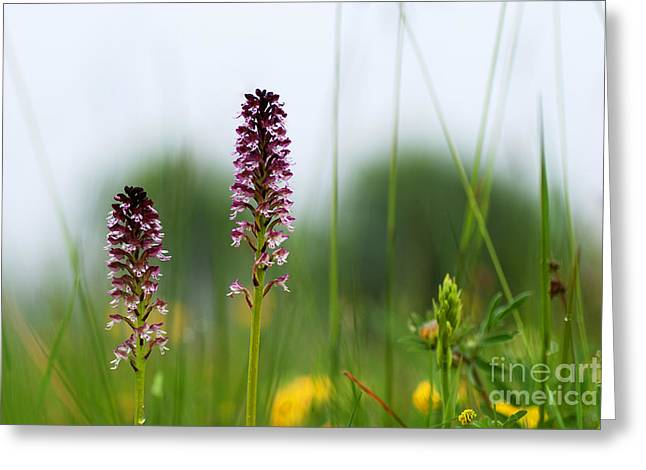 Greeting Card featuring the photograph Blossom Among Grass Straws by Kennerth and Birgitta Kullman