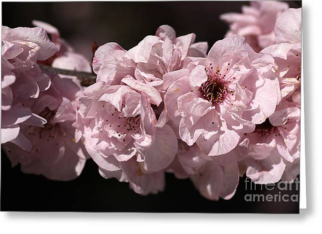 Blossom In Pink Greeting Card by Joy Watson