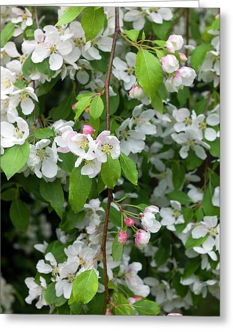 Blossom Of Crab Apple Malus Red Jade Greeting Card