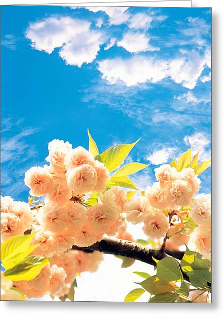 Blossoms Against Sky Greeting Card