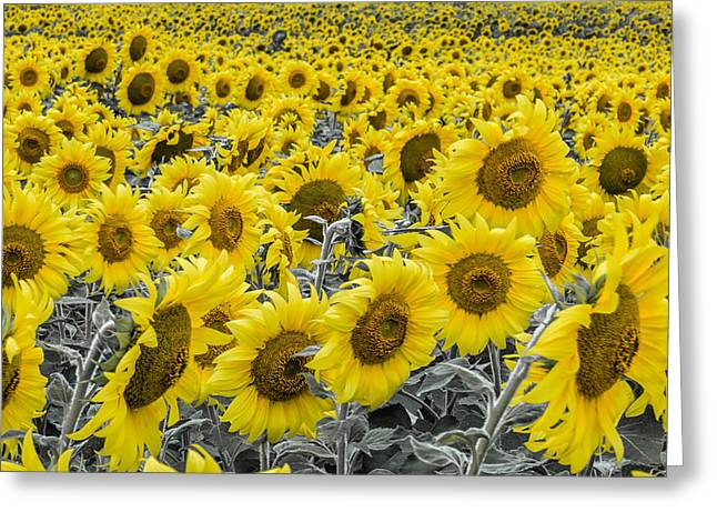 Blossoms Only Sunflowers Greeting Card by Thomas Pettengill