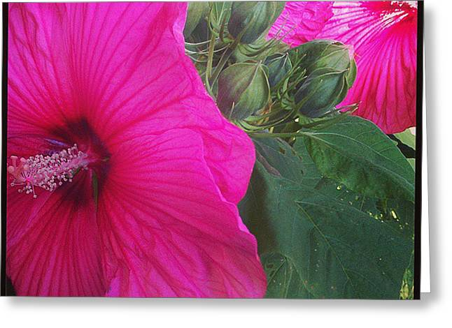 Blosssoms And Buds Hibiscus  Greeting Card by Brittany Perez