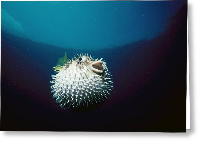 Blotched Pufferfish Greeting Card by Jeff Rotman