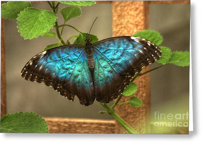 Greeting Card featuring the photograph Blue And Black Butterfly by Jeremy Hayden