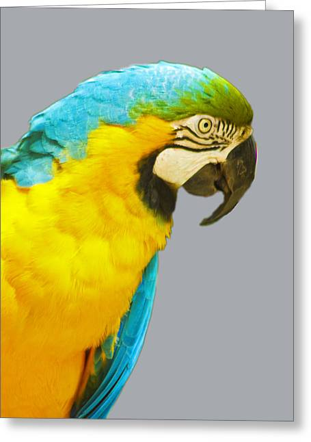 Blue And Gold Macaw Greeting Card by Bill Barber