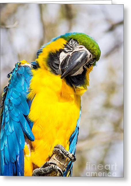 Blue And Gold Macaw Parrot Greeting Card