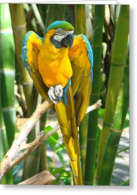 Greeting Card featuring the photograph Blue And Gold Macaw by Phyllis Beiser