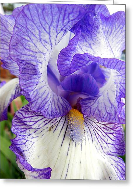 Blue And White Iris Closeup Greeting Card by Virginia Forbes