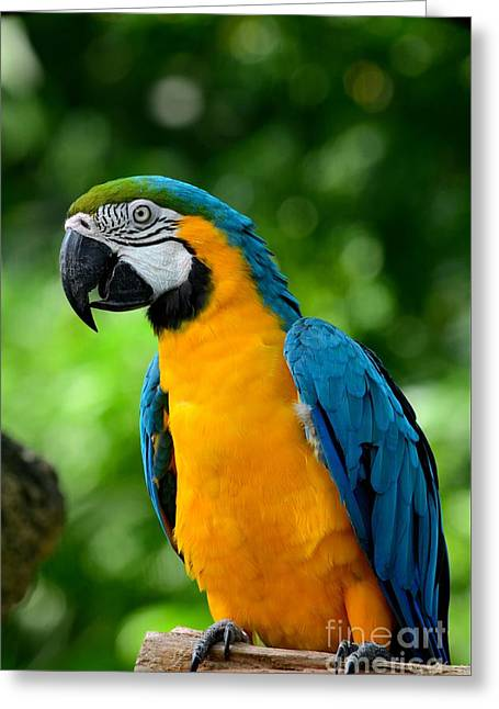 Blue And Yellow Gold Macaw Parrot Greeting Card