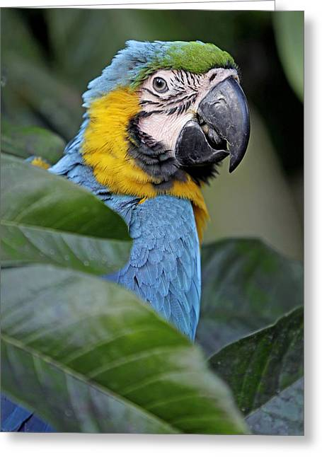 Blue And Yellow Macaw Greeting Card by Jean-Michel Labat